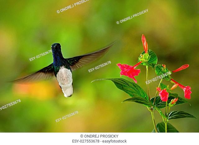 Flying hummingbird White-necked Jacobin
