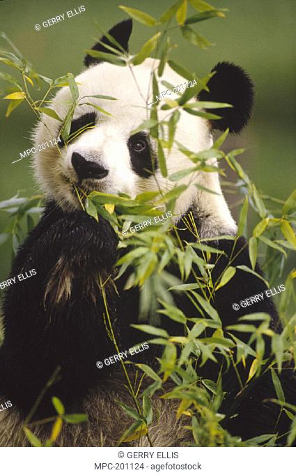 GIANT PANDA (Ailuropoda melanoleuca),  EATING BAMBOO, ENDEMIC, NATIONAL ZOO,  MONTANE FOREST OF SOUTHEAST CHINA @