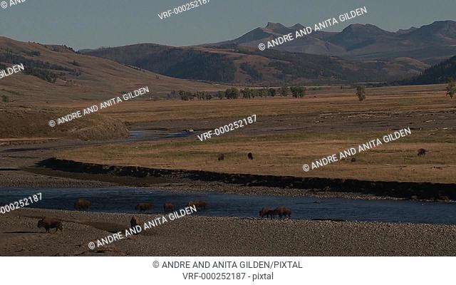 Bison walking through a river in valley