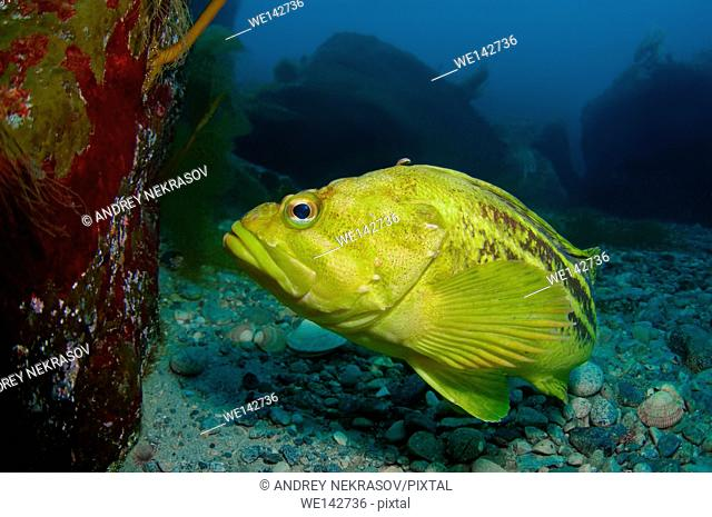 Yellow Rockfish, Gold Rockfish or Three-stripe Rockfish (Sebastes Trivittatus), Sea of Japan (East sea), Primorsky Krai, Far East, Russian Federation