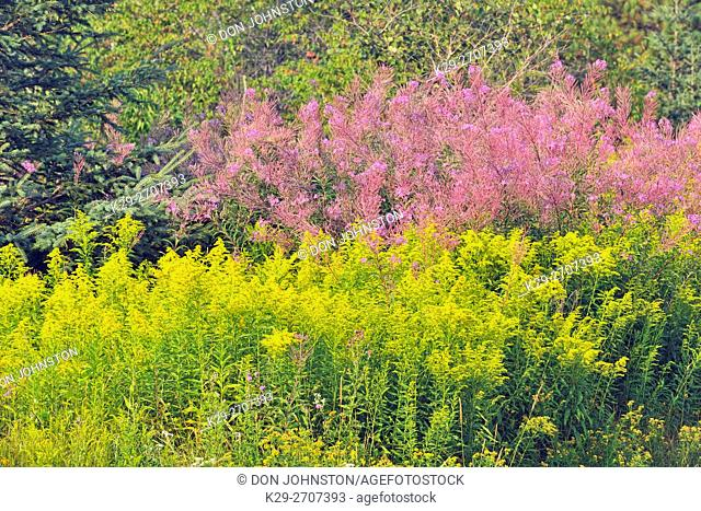 Late summer vegetation (goldenrod and fireweed) along a roadside, Greater Sudbury, Ontario, Canada
