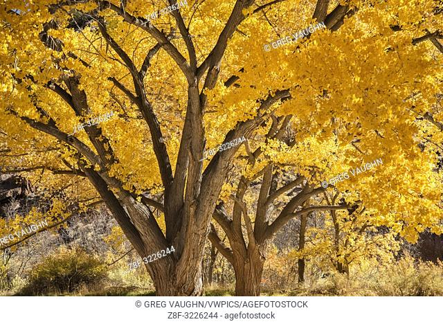 Freemont Cottonwood trees in fall color in the historic Fruita Distric of Capitol Reef National Park, Utah