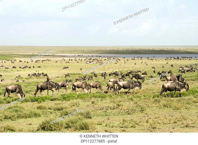 Large herd of Wildebeest (Connochaetes taurinus) moves past lake in the Serengeti short grass plains near Ndutu, Ngorongoro Crater Conservation Area; Tanzania