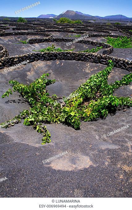 Lanzarote La Geria vineyard on black volcanic soil in Canary Islands