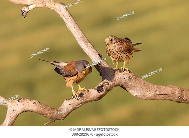 Europe, Spain, Catalonia, Lesser Kestrel, male and female on a branch near the artificial cavity of a building entirely constructed for the nesting of these...