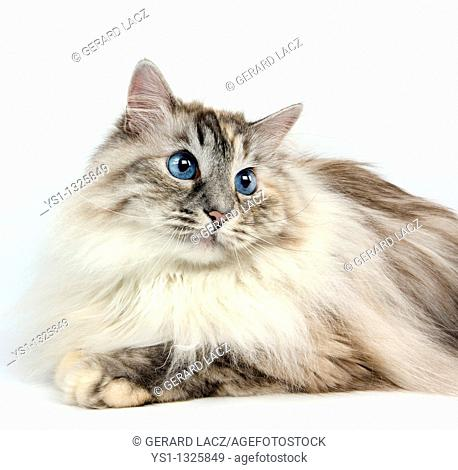 SEAL TABBY POINT WITH WHITE SIBERIAN CAT, FEMALE AGAINST WHITE BACKGROUND