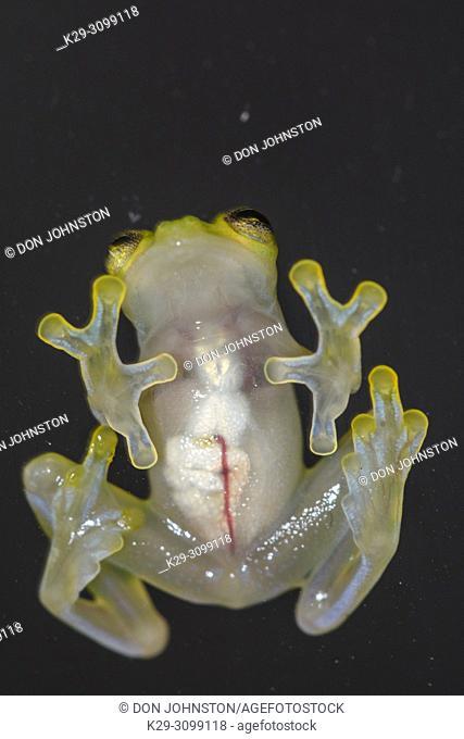 La Palma Glass Frog - Hyalinobactrachium valerioi, Understory Enterprises, Captive raised, Native to: Costa Rica