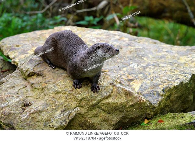 Otter, lutra lutra, Bavaria, Germany, Europe