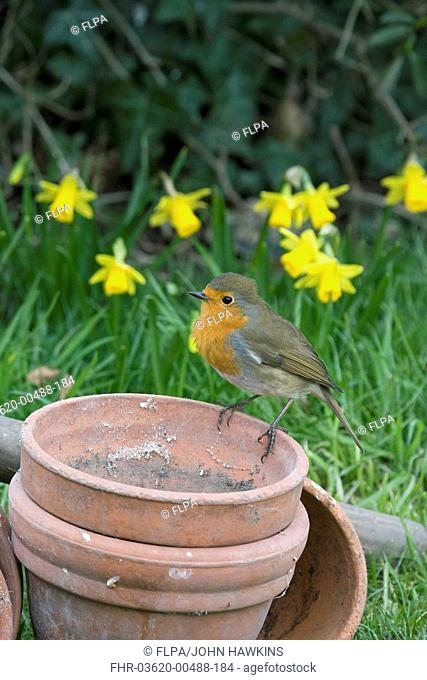 European Robin Erithacus rubecula adult, perched on flowerpots beside daffodils, in garden, England, march
