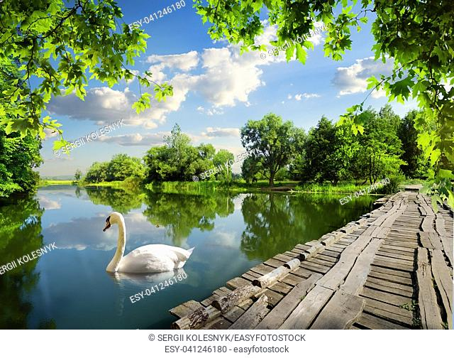 Day on the river in the forest and swan
