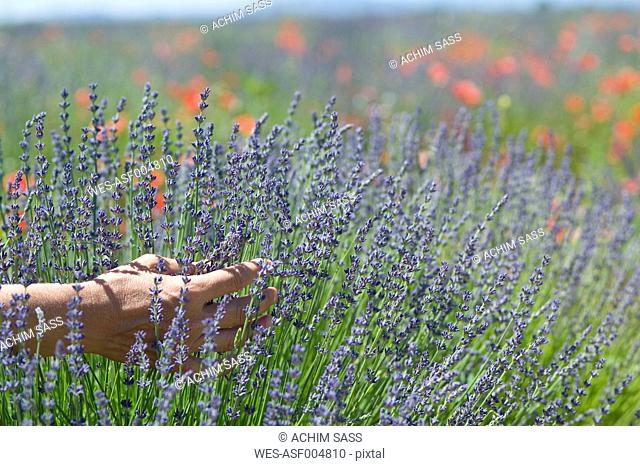 France, Human hand touches lavender in field