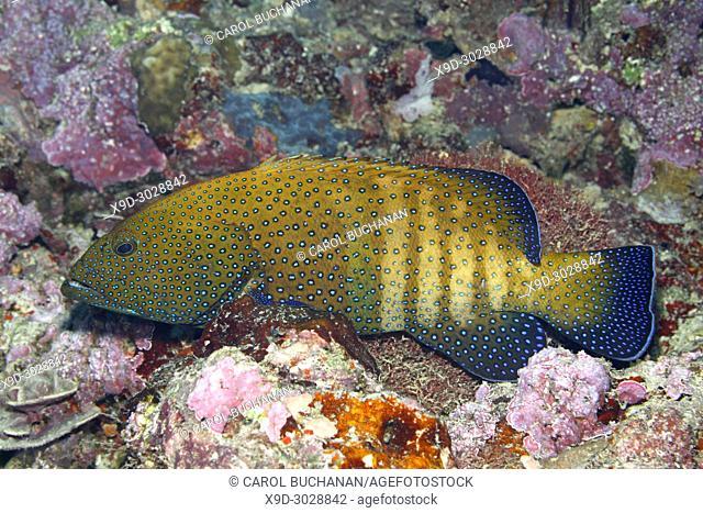 Peacock Grouper, Cephalopholis argus, pale phase. Uepi, Solomon Islands. Solomon Sea, Pacific Ocean