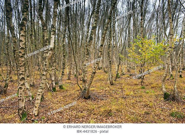 Birch (Betula pubescens), Birch forest, Emsland, Lower Saxony, Germany