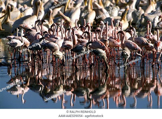 Greater & Lesser Flamingos, Lake Nakuru, Kenya