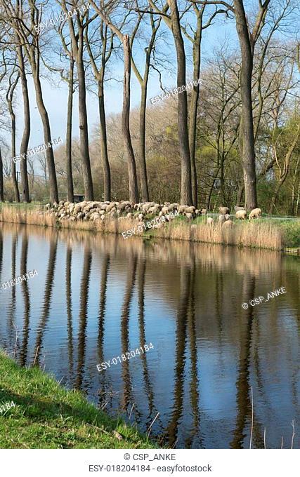 Damse Vaart flock of sheep in Belgium