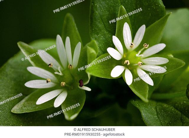 Blooming Greater stitchwort, Stellaria holostea, Austria, Europe / Grossblütige Vogel-Sternmiere, Stellaria neglecta, Österreich, Europa