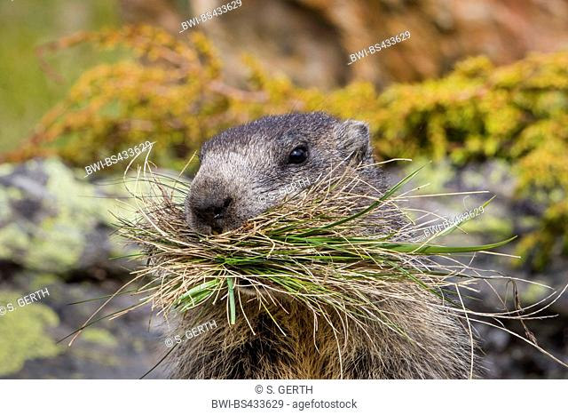 alpine marmot (Marmota marmota), stands on a rock with collected grass in its mouth, Switzerland, Valais