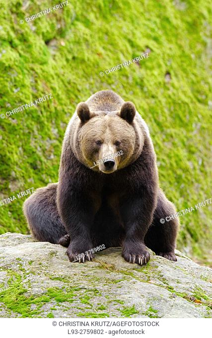 Brown bear (Ursus arctos) sitting on a rock, Bavarian Forest National Park, Bavaria, Germany