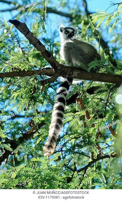 Ring-tailed Lemur Lemur catta in the tree Tamarindus indica of Which it feeds. Berenty Reserve. Madagascar