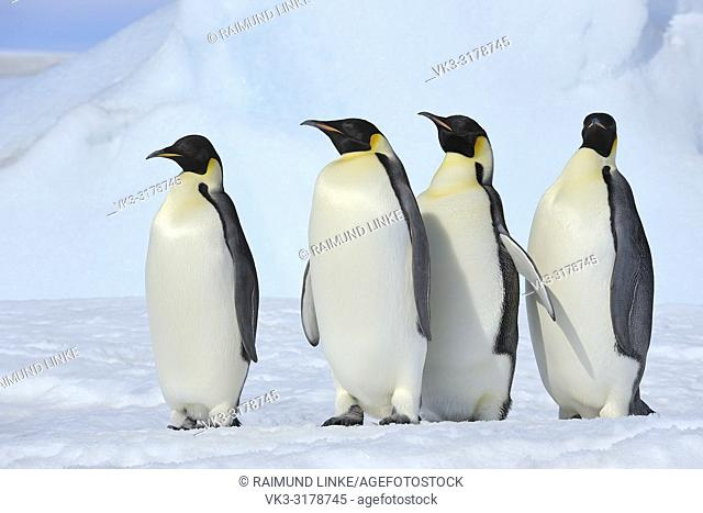 Emperor penguins, Aptenodytes forsteri, Group of Adults, Snow Hill Island, Antartic Peninsula, Antarctica
