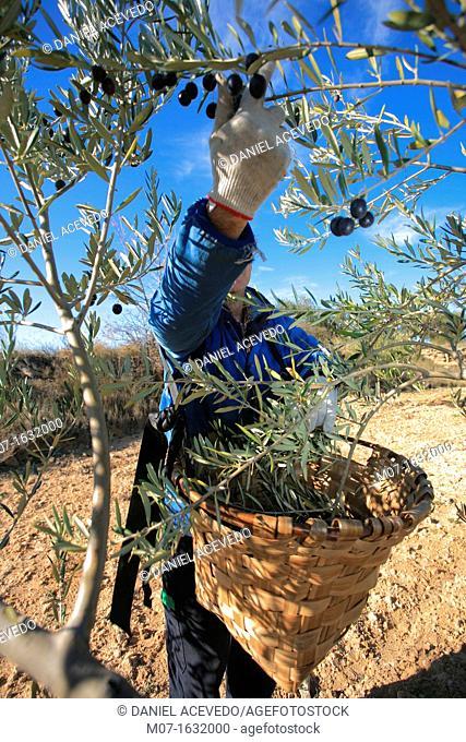 olive harvest, spain