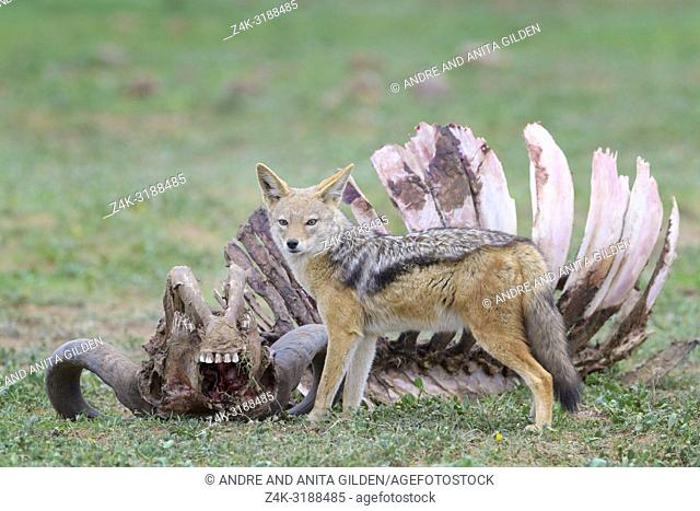 Black-backed Jackal (Canis mesomelas) at the carcass of a Cape Buffalo (Syncerus caffer caffer), Addo Elephant National Park, Eastern Cape Province