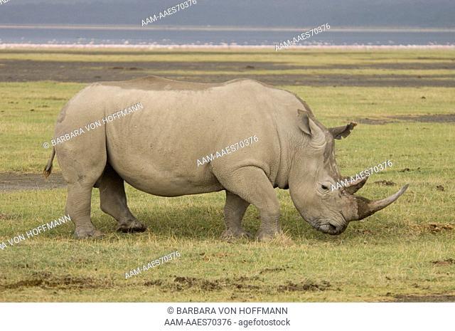 White Rhino grazing Ceratotherium simum) Lake Nakuru National Park, Kenya