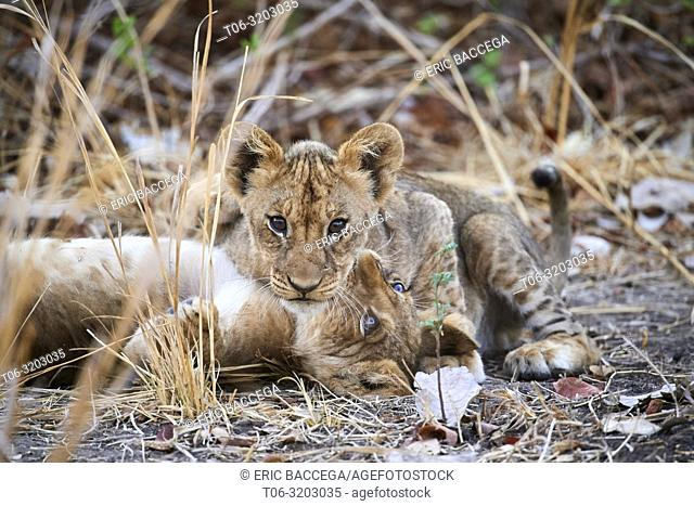 Two African lion cubs playing (Panthera leo) South Luangwa National Park, Zambia