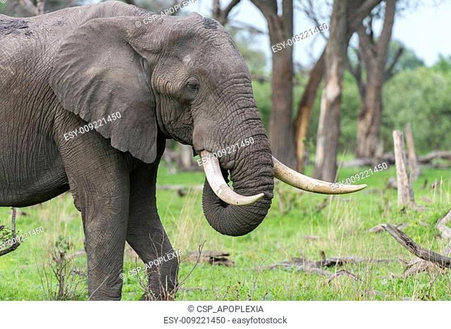 A Bull elephant with massive tusks