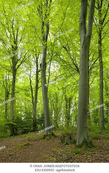 A broadleaf woodland in spring at Leigh Woods near Bristol, North Somerset, England