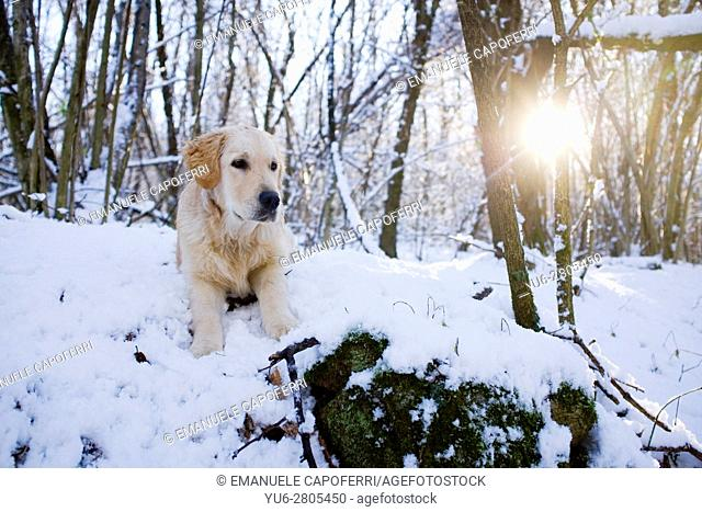 Portrait of golden retriever in the woods with snow