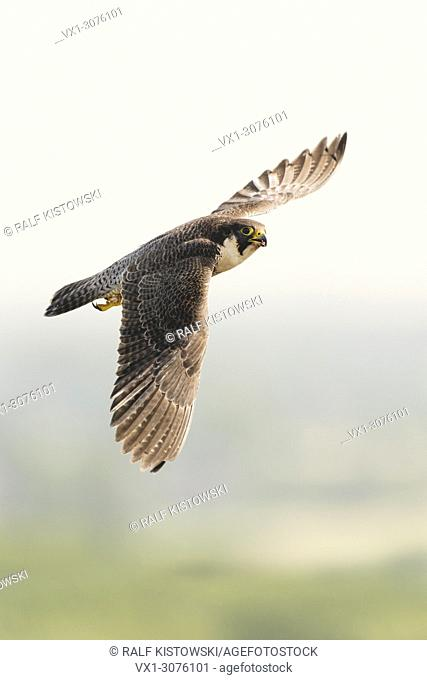 Peregrine Falcon / Duck Hawk ( Falco peregrinus ) in fast flight, close by, high above the country, wildlife, Europe