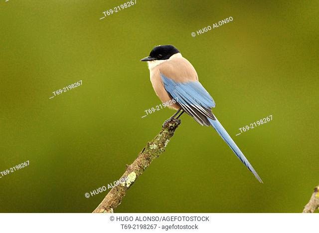 Azure-winged Magpie (Cyanopica cyanus). Crow family