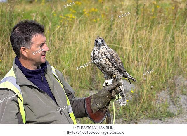 Falconry, Falconer with Gyrfalcon Falco rusticolus, Worcestershire, England