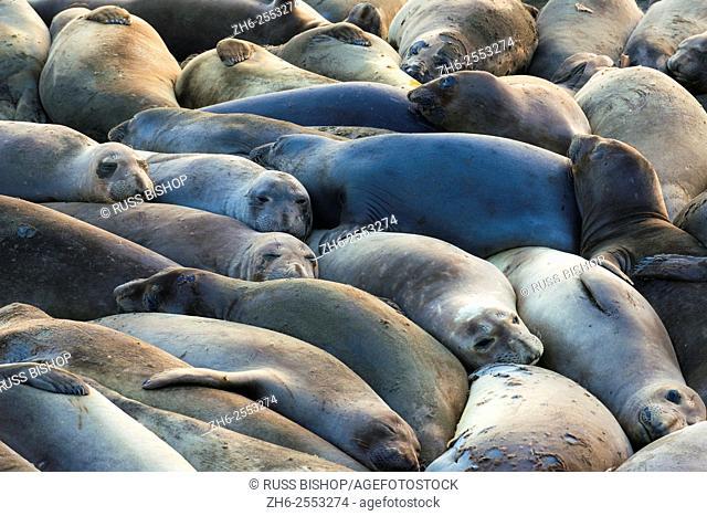 Northern elephant seals (Mirounga angustirostris) at Piedras Blancas Elephant Seal Rookery, San Simeon, California USA