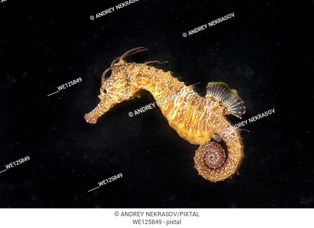 Short-snouted seahorse (Hippocampus hippocampus) Black sea, Crimea, Ukraine, Eastern Europe