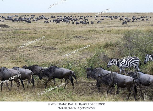 Wildebeests, also called gnus or wildebai, and Plains zebra (Equus quagga, formerly Equus burchellii) also known as the common zebra or Burchells zebras