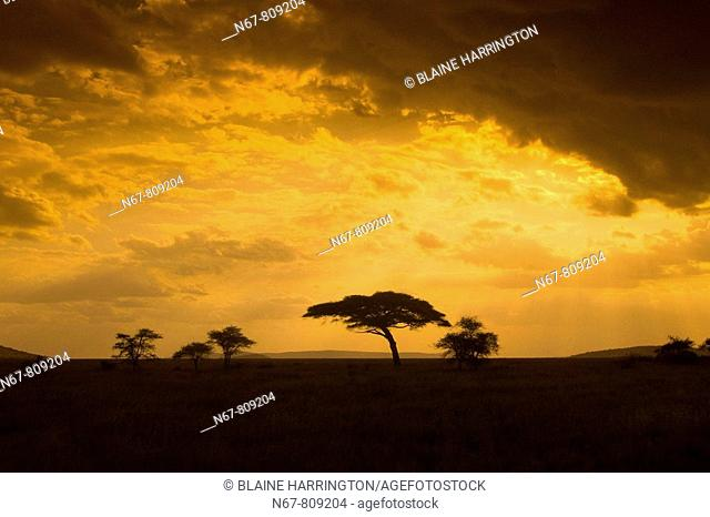 An acacia tree at sunset, Serengeti National Park, Tanzania