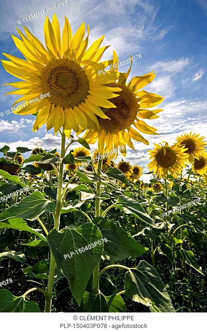 Field with common sunflowers (Helianthus annuus) on a cloudy sky