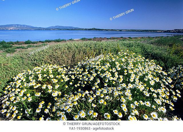 Roman chamomile Chamaemelum nobile flowers, Salses/Leucate lake, Le Barcares, Eastern Pyrenees, Languedoc-Roussillon, France