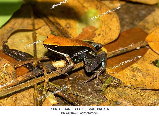 Mantellid frog (Mantella ebenaui) on leaves in rainforest of Ankify, North-West Coast, Madagascar