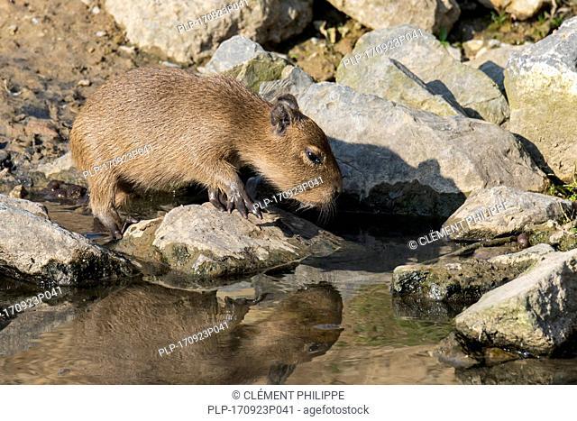 Capybara (Hydrochoerus hydrochaeris / Hydrochoeris hydrochaeris) pup on riverbank, largest rodent native to South America