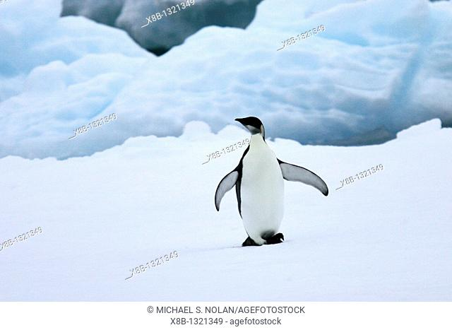 Young Emperor penguin Aptenodytes forsteri from a recently discovered November 2005 colony on Snow Hill Island in the Weddell Sea  This may be the northernmost...
