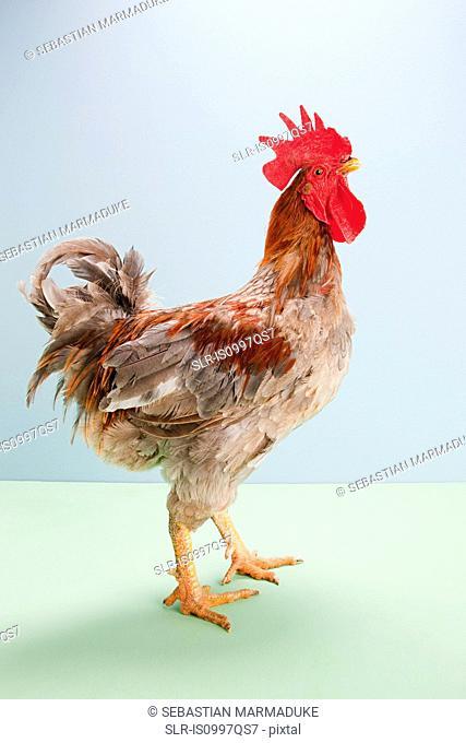 Rooster standing in studio