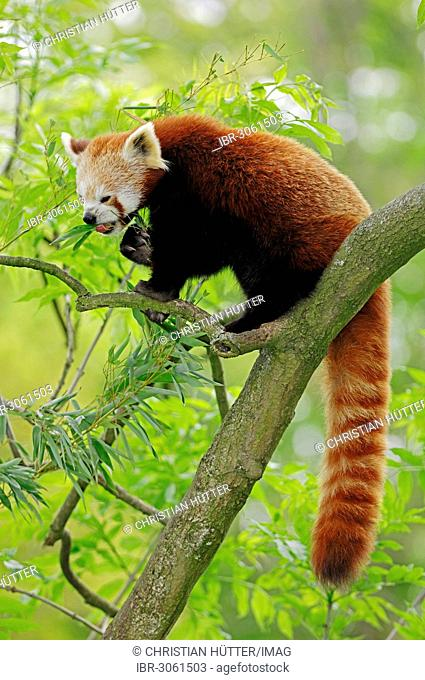 Red panda (Ailurus fulgens), occurrence in China, captive