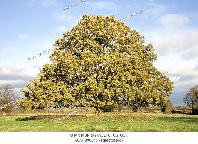 Oak Quercus Spec Oak At Lake Greifen In Autumn Switzerland