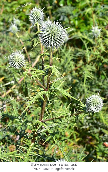 Echinops spinosissimus is a perennial herb native to southeastern Europe, northern Africa and western Asia. Flowering plant