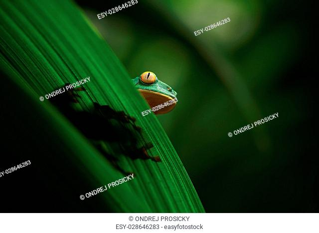 Golden-eyed leaf frog, Cruziohyla calcarifer, green frog hidden