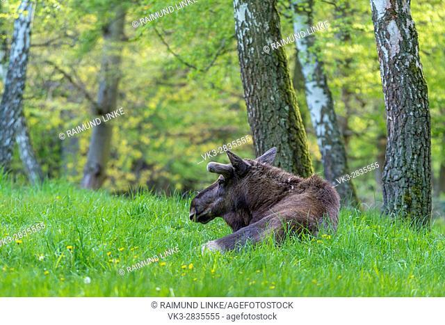 Moose, Elk, Alces alces, Spring, Germany, Europe
