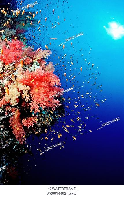 Coral Reef with Anthias, Pseudanthias squamipinnis, Brother Islands, Red Sea, Egypt